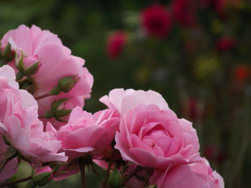 Rose Pink Nature Love Flowers Romantic Romance