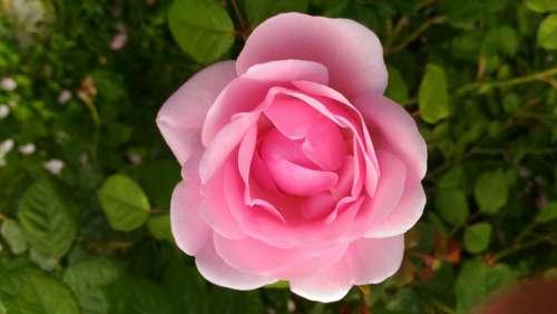 Rose Fiore Pink Petali Rosa Natura