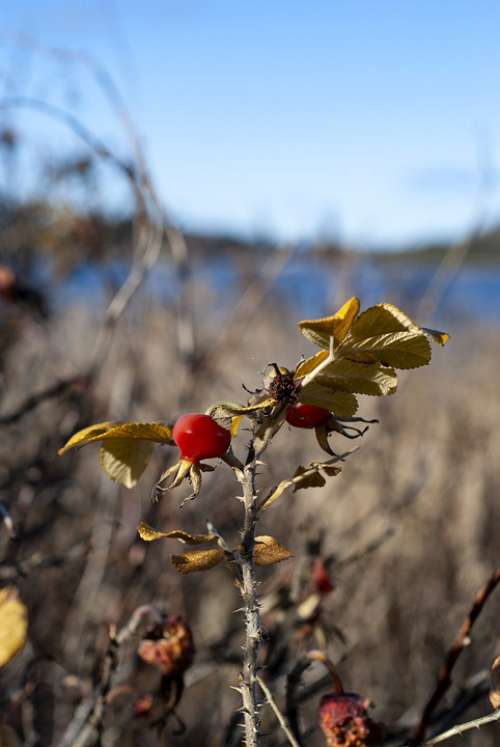 Rose Hips Wild Nature Plant Fruit Leaf Autumn
