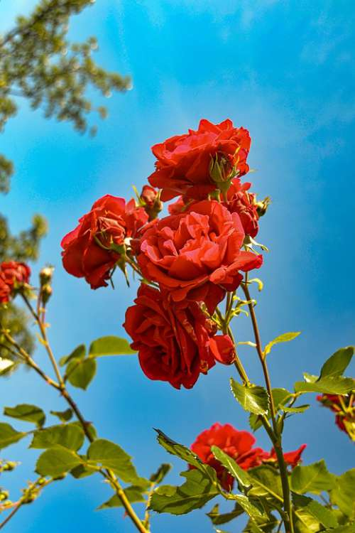 Roses Red Garden Beauty Romantic Nature Flower