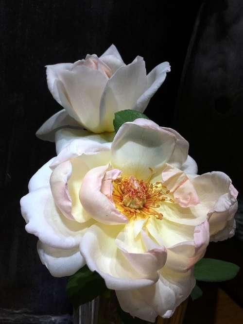 Roses White Flower Pink Petals White Petals Flower