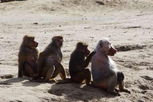 Row Of Monkeys Monkeys Vlooiende Monkeys Zoo Monkey
