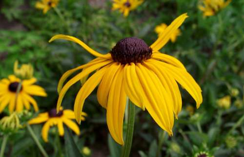Rudbeckia Brilliant Flowers Yellow Garden Summer