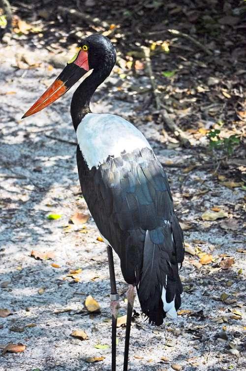 Saddle-Billed Stork Bird Wildlife Animal Stork