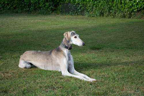 Saluki Persian Greyhound Dog Pet Grey Greyhound