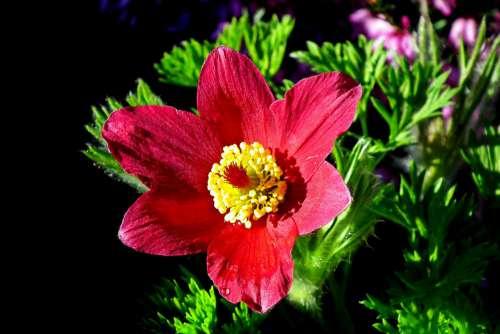 Sasanka Red Flower Spring Nature Blooming Garden