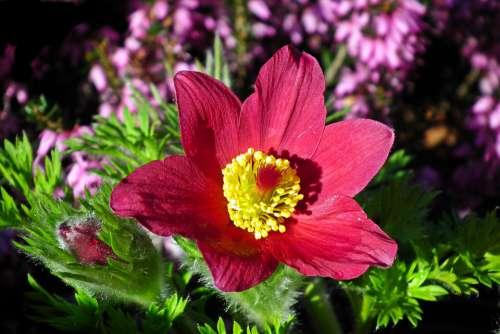 Sasanka Red Blossoming Garden Closeup Nature