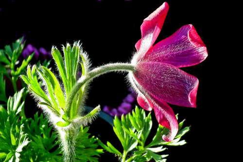 Sasanka Flower Spring Nature Blossoming Decorative