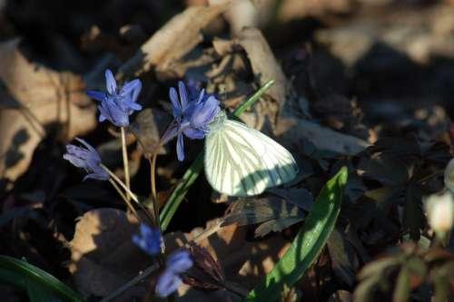Scilla Silvestre Scilla Bifolia L Underwood Flowers