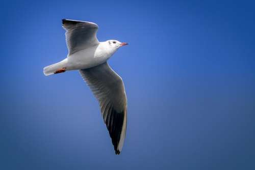 Seagull Bird Wing Flying Nature Sky Animal
