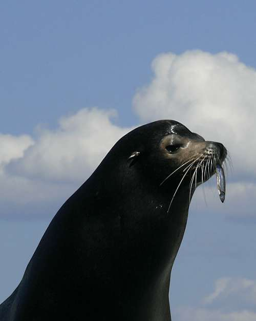 Seal Portrait Out Of Water Cute Head Looking Fish