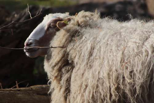Sheep Livestock Pet Wool Sheep'S Wool Mammal