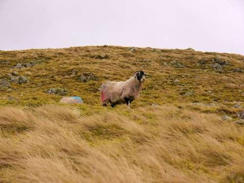Sheep Grass Landscape Rural Agriculture Animal