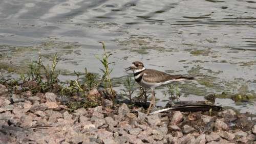 Shorebirds Sandpiper Birds Water Lake Shoreline