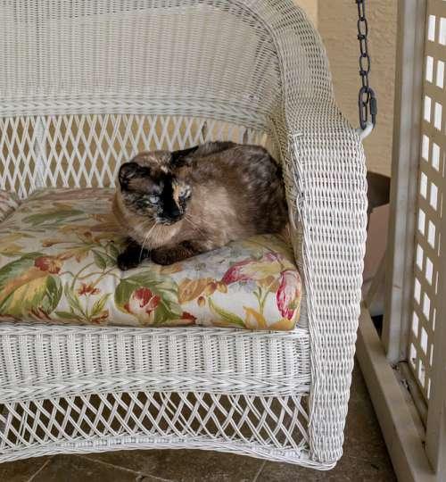 Siamese Cat Outdoors Pet Animal Eyes Mammal