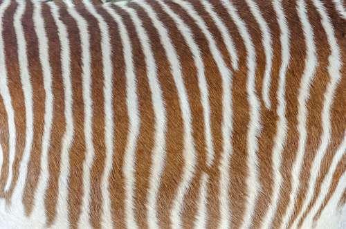 Skin Zebra Striped White Brown Hair
