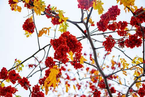 Sky Berries Red Nature Blue Tree Bloom Branch