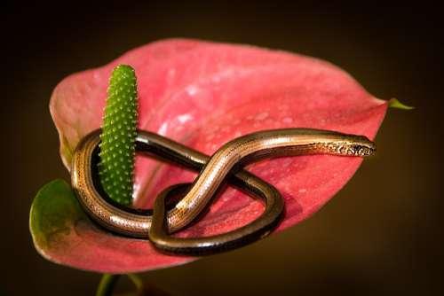 Slow Worm Salamander Reptile Lizard Nature