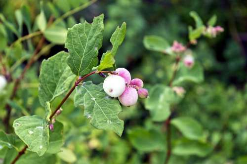 Snowberry Waxberry Ghostberry White Berry