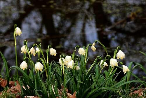 Snowdrops Pond White Flower