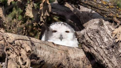 Snowy Owl Owl Raptor Winnipeg Manitoba Canada