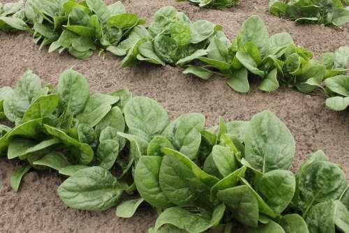 Spinach Vegetable Patch Garden Vegetables Green