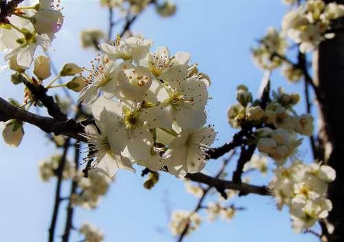 Spring Blossom Apple Blossom Blossoms