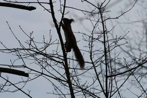 Squirrel Silhouette Climb Tree Branch Branches