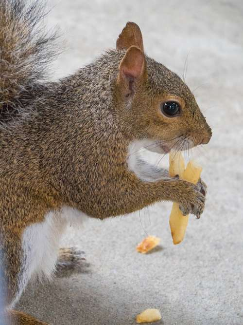 Squirrel Animal Eating Rodent Nature Cute Furry