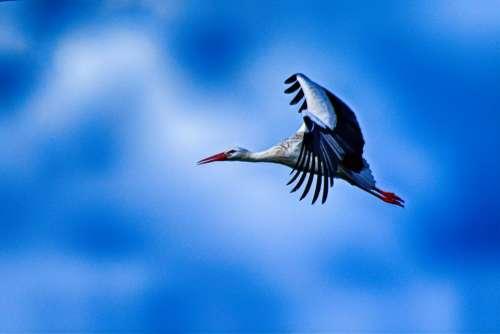 Stork Flying Elegant Pride Beautiful Wing Feather