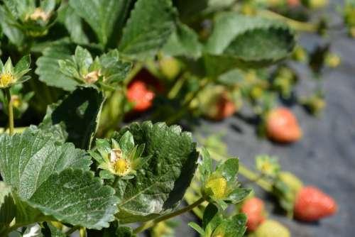 Strawberry Planting Harvest Field