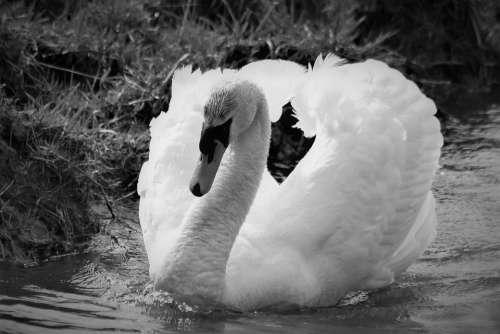 Swan Water Bird Nature Bird Animal Animal World