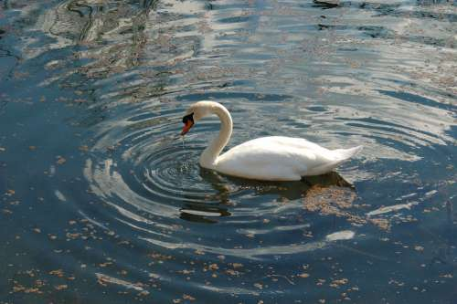 Swan Swans Nature Fauna Birds Bird Aquatic