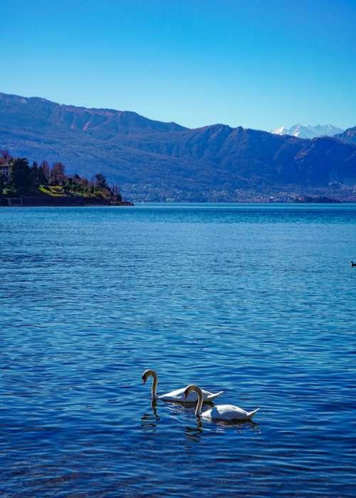 Swans Swan Lake Elegance Water Elegant Animal