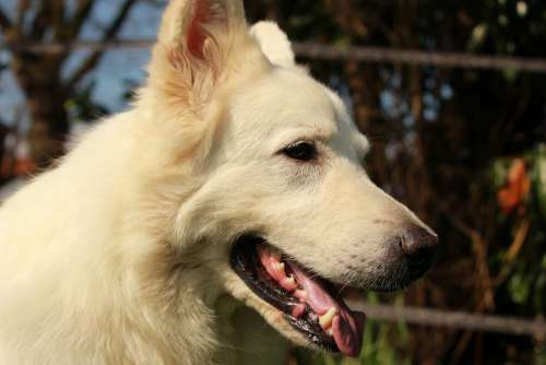 Swiss White Shepherd Dog Animal Animals White
