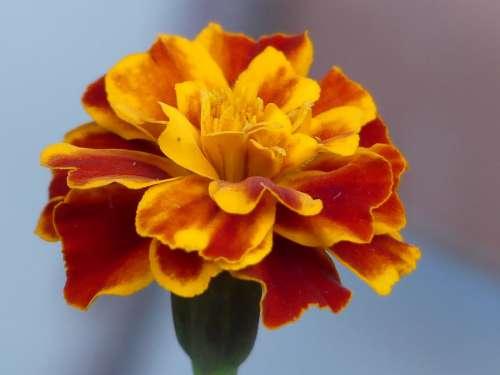 Tagete Flower Nature Orange Colorful Garden Flora