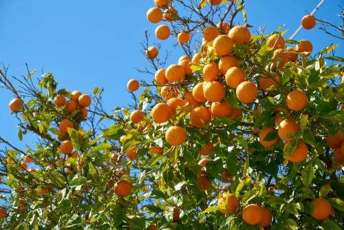 Tangerine Fruit Delicious Orange Food Vitamins