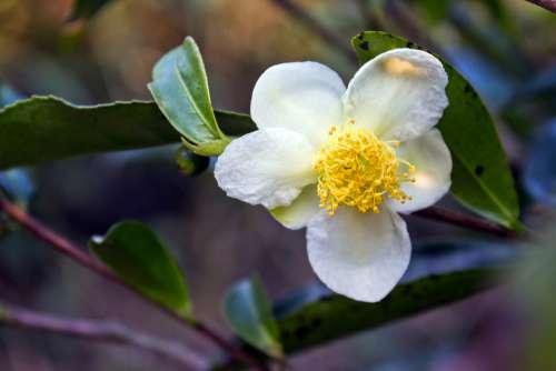Tea Flower Flower White Flower