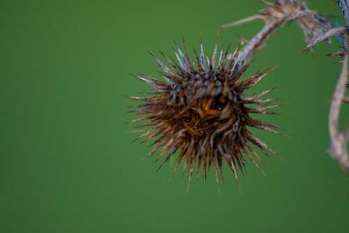 Thistle Dry Flower Thorny Plant