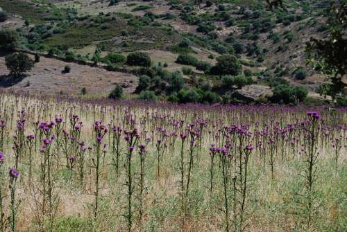 Thistle Field Corsica Loneliness Rest Nature