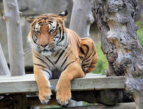 Tiger Bengali Cat Beast Animal Mammal Predator