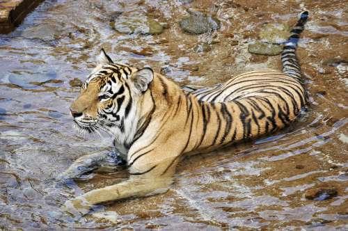 Tigers Wildcats Animals Predator Zoo Mammal