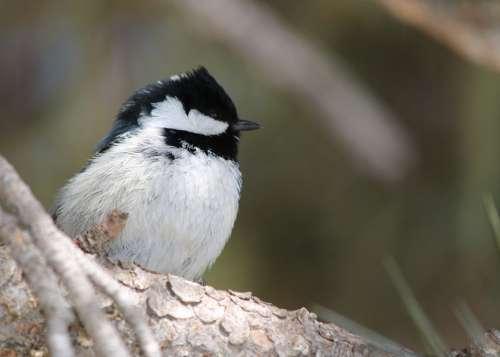 Tit Bird Songbird Small Bird Plumage Wing