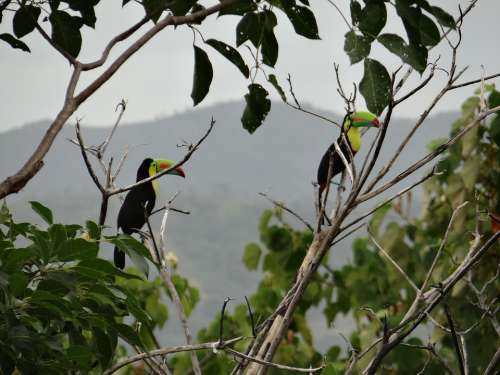 Toucan Branches Bi Bird Colorful Beak Exotic