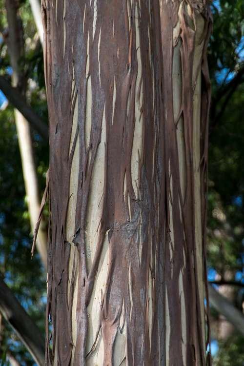 Tree Bark Gum Tree Eucalypt Trunk Peeling Nature