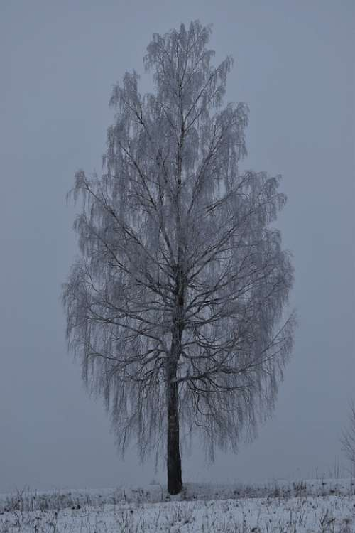 Tree Winter Snow Nature Landscape Cold White
