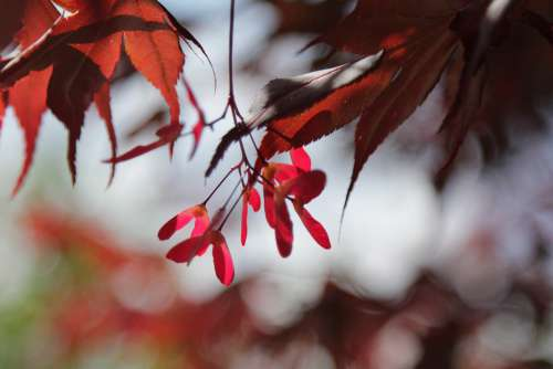Tree Leaves Acer Red Summer Maple Infructescence