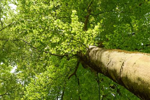 Tree Beech Forest Nature Leaf Spring Tribe