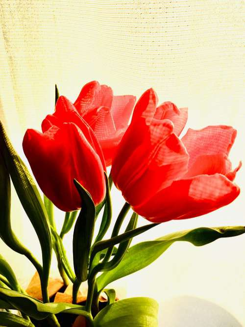 Tulips Red Pink Flowers Spring