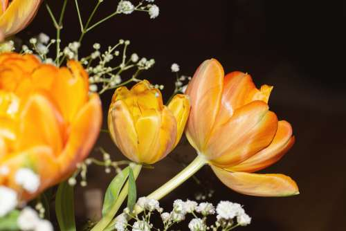 Tulips Flowers Orange Filled Blossoms